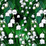 Maiglöckchen grün